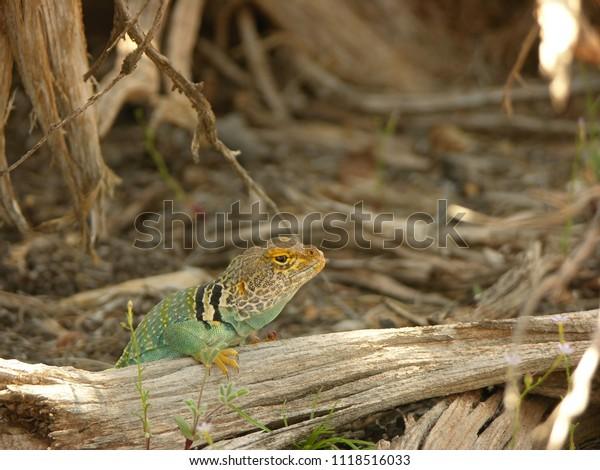 Blue Collared Lizard in Southeastern Utah Desert