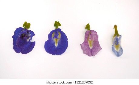 Blue color of anthocyanin in butterfly pea piles natural acid and base indicator Clitoria ternatea L. , Rhizobium leguminosarum at root . Mendel genetic