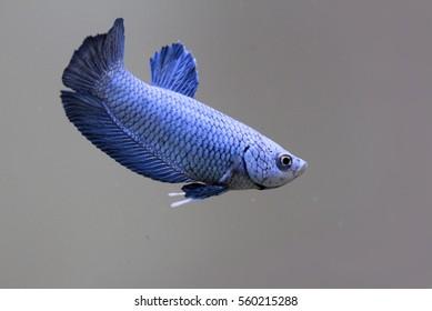 blue color betta fish