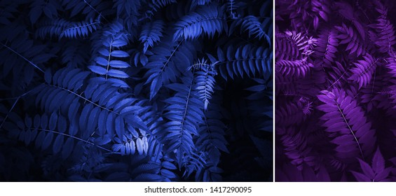 Blue color classic and purple  leaves. Beautiful neon fern leaves foliage. Floral background. Creative and moody color of the picture.Trend of the year 2020.