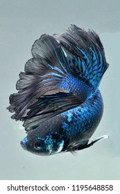 blue color and pattren betta fish halfmoon category