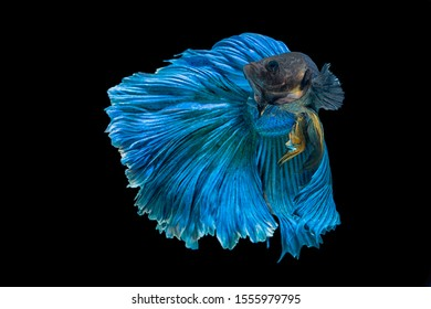 blue color rose tail Moon Bettas Siamese Fighting Fish