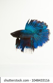 blue color siamese fighting fish on white background, thai betta fish is small colorful fish for local gambling game by fighting biting each other in a clear bottle of water