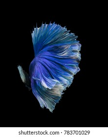 Blue color Siamese fighting fish(Rosetail),fighting fish,Betta splendens,on black background,Fancy Butterfly Halfmoon Betta