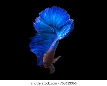 Blue color Siamese fighting fish(Rosetail-halfmoon),fighting fish,Betta splendens,on black background,Double Tails