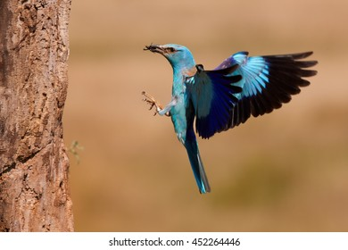 Blue colored bird, European Roller, Coracias garrulus, female returning to nest in trunk with insect in its beak against abstract orange background. Hungary.
