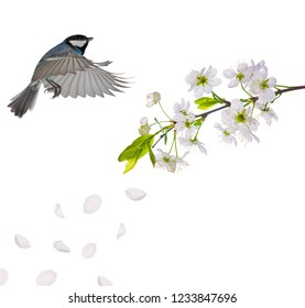 blue colored tit flying near cherry tree blossoming branch isolated on white background