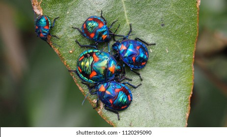 Blue coloured Hibiscus Harlequin Bug, Beetle, Tectocoris diophthalmus