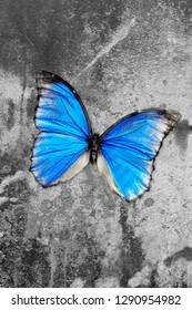 Blue common morpho butterfly on stony background