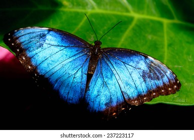 blue Common Morpho butterfly resting on a leaf