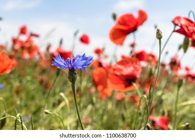 Blue cornflower beetween red poppies in summer