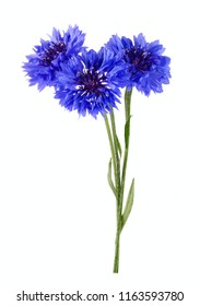 Blue cornflower bouquet isolated on white background