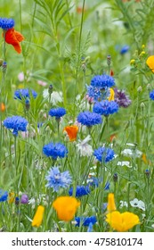 Blue Cornflower (Centaurea cyanus) and Californian Poppy (Eschscholzia californica) in a blooming flower field
