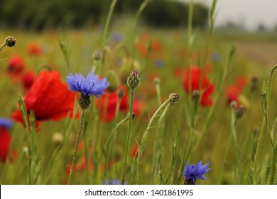 a blue cornflower closeup in a field margin with barley and red poppies in holland in springtime