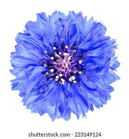 Blue Cornflower Flower Isolated on White Background . Centaurea cyanus flowerhead wildflower on plain background