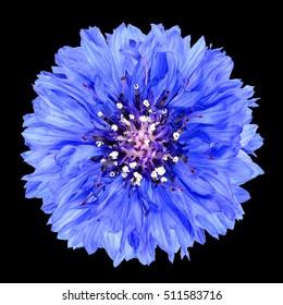 Blue Cornflower Flower Isolated on Black Background . Centaurea cyanus flowerhead wildflower on plain background