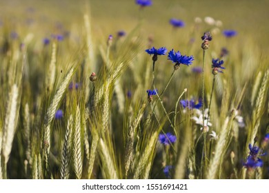 blue cornflower flowers in a grain field - close up view of ears of corn Triticale and blue cornflower flowers in a organic cornfield, blurred background, summer sunny day