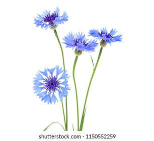 Blue cornflower herb or bachelor button flower isolated on white background