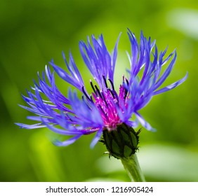 Blue Cornflower, montana bachelor, close up