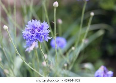 blue cornflowers in bloom