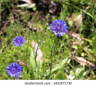 Blue cornflowers blossoming in the springtime in park, garden and meadow to attract insects and bees for pollination