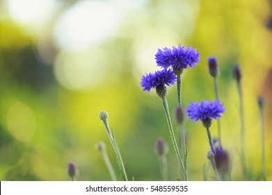 Blue cornflowers with bokeh , floral nature background