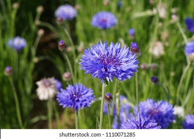 Blue Cornflowers in the garden at japan