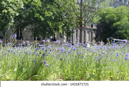 Blue cornflowers to turn city of Paris greener with urban facades in the background, to freshen up the air with meadow and more insects in town