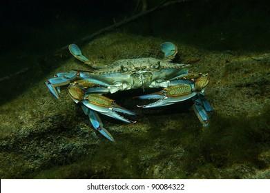 Blue crab, Crystal Springs, Florida