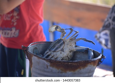 Blue crab in a metal bucket