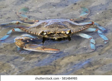 Blue crab on the Galveston beach, Texas