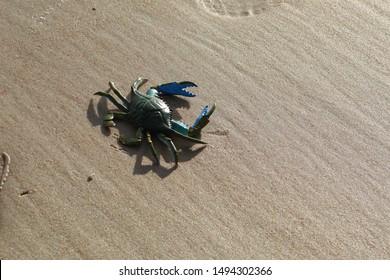 Blue crab toy enjoying the sunshine in Ormond Beach, Florida.