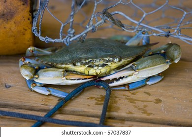 A blue crab trying to hide under a crab trap and holding a rope.