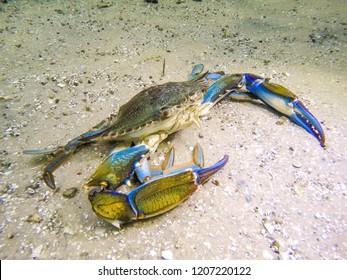 Blue crab under water walking on sandy bottom