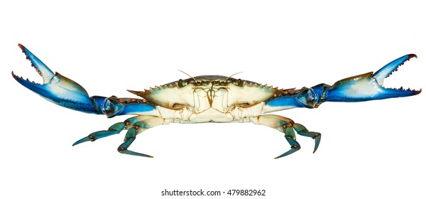Blue Crab with white background,attack