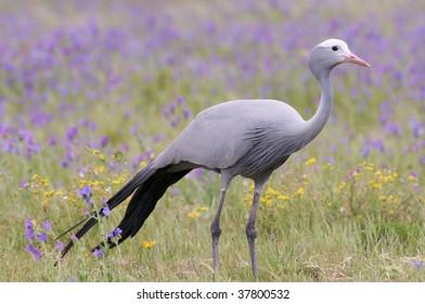 Blue Crane Bird in South African meadow