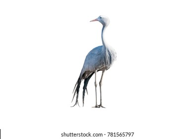 A Blue Crane, Grus paradisea, isolated on white. it is an endangered bird specie endemic to Southern Africa. It is the national bird of South Africa
