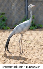 Blue Crane Stanley (heavenly belladonna) in the Moscow Zoo