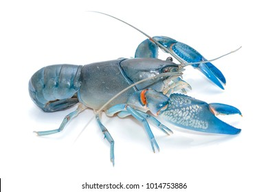 Blue crayfish cherax destructor ,Yabbie Crayfish isolate on white