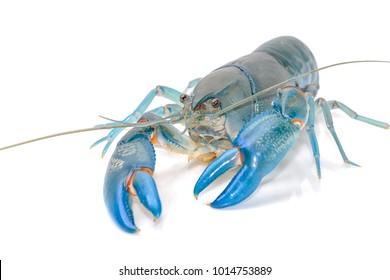 Blue crayfish cherax destructor ,Yabbie Crayfish isolate on white