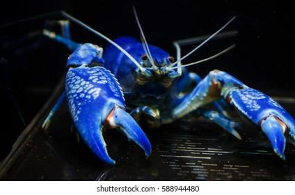 Blue Crayfish destructor