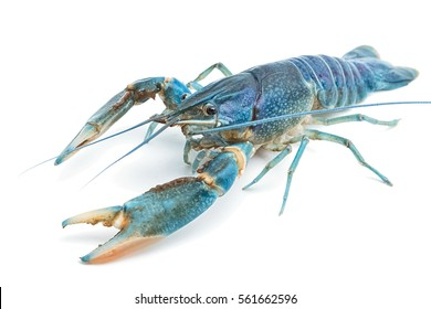 Blue crayfish,Fresh water Lobster on white background