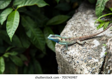 blue crested lizard on stone in nature forest in thailand