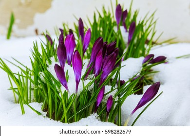 Blue crocus flowering from snow flowering crocus in the snow