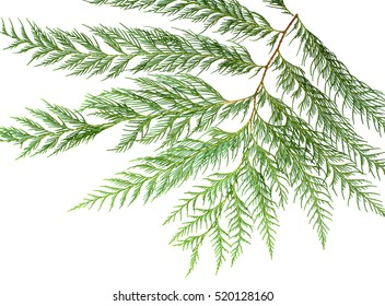 Blue cypress pine's leave