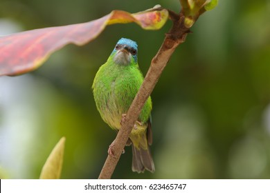 The Blue dacnis ( dacnis cayana, female) on the branch.