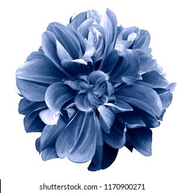 Blue  dahlia. Flower on a white  isolated background with clipping path.  For design.  Closeup.  Nature.