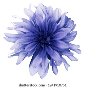 Blue dahlia  flower white  background isolated  with clipping path. Closeup. For design. Nature.