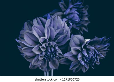 blue dahlias, buds on a black background, isolated