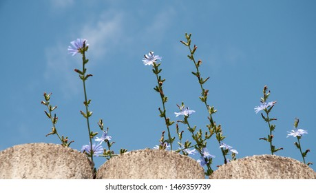 blue daisies or common chicory, cichorium intybus, growing beside a garden wall of concrete columns